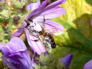 mallow beeDSC01801