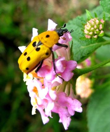 Flower chafer