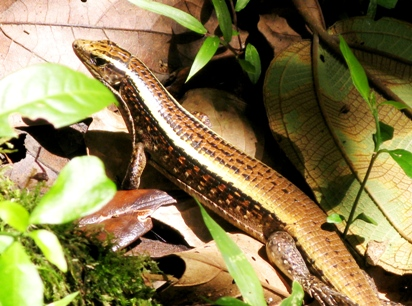Zonosauras madagascariensis.
